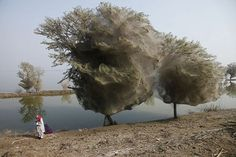pakistan-floods-drive-spiders-into-trees-adult_34026_600x450.jpg (600×400) #spider #tree #pakistan