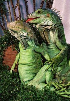 Lizard Love #portrait #green #photo #love #lick #blog #kiss #lizards #teenage curiosity