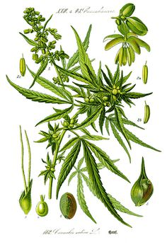 Illustration: Cannabis sativa