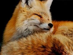 Google Reader (1) #red #fox #photo #orange #photography