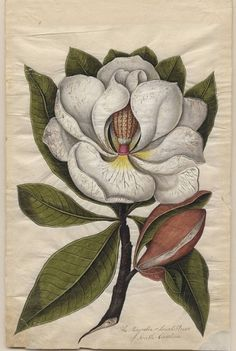 All sizes | Magnolia or Laurel-Flower | Flickr - Photo Sharing! #flower #illustration #nature