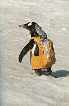Untitled | Flickr - Photo Sharing! #penguin #costume