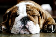 FFFFOUND! #photography #bulldog