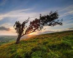 Image result for windswept tree
