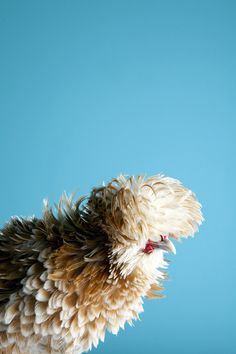 Mitch Payne's Poultry series