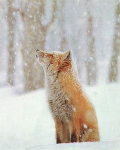 Red fox in snow #photography #red #snow #box