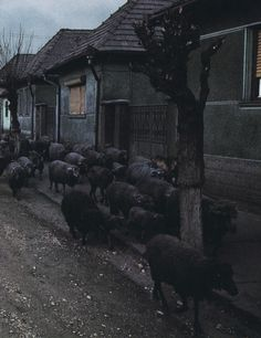 via russiancarpet #sheep #photography #black