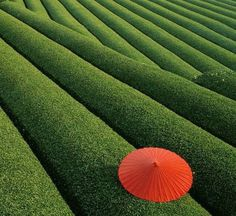 Kyoto Obubu Tea Plantation @ Japan