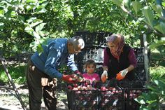Wall-B World Wild: family sifting through apples in ones of the hundreds of orchards lining the road from Egirdir to Kovada National Park, T #granddaughter #family #apple #turkey #grandparents #walby #orchard #david