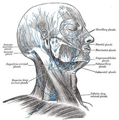 Gray602.png (PNG Image, 500 × 505 pixels) #grays #facial #muscles #anatomy