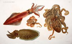 Cephalopodi #19th #naples #jatta #lithography #mollusca #malacology #octopus #lithograph #quid #century #marine #cephalopoda #giuseppe #animal #italy