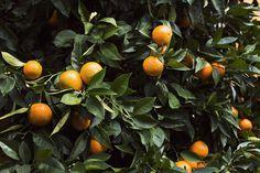 Tumblr #orange tree