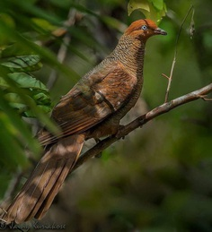 Andaman Cuckoo-dove - Great Nicobar, Andaman and Nicobar Islands, India