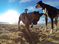 GoPro Fetch Dog Harness #tech #flow #gadget #gift #ideas #cool