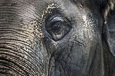 Wise Elephant Eye :: Photo by Kate Sheffield - http://www.behance.net/katesheffield #wise #elephant #eye #photography #animal