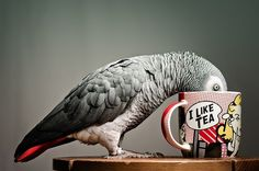 DeadFix » African #red #pop #african #bird #feathers #tea #art #parrot #cup #grey