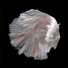 Stunning Portraits of Siamese Fighting Fish by Visarute Angkatavanich #portraits #fighting #fish #siamese