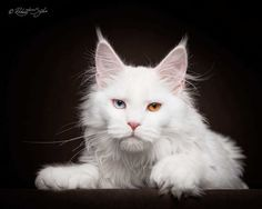 Robert Sijka Captures Stunning Portraits of Maine Coon Cats