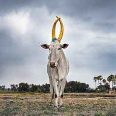 Daniel Naudé Captures A Celebration Of The Sacred Cattle