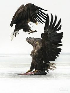 Category: Talents » Jonas Eriksson #eagle #photography