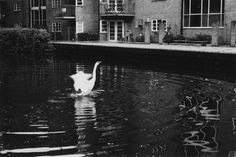 flappy bird #London #swan #Regents #canal #Hackney #east #black #white #photography