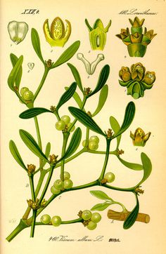 Illustration: Viscum album #wilhelm #flora #thom #biology #print #fauna #otto #dr #illustration #and