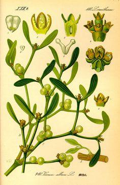 Illustration: Viscum album #wilhelm #flora #thom #biology #print #fauna #otto #dr #illustration #and
