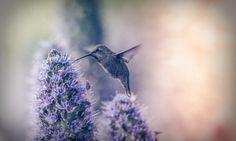 Hummingbirds Blue Wallpaper Hd Free Download | WallpapersBae