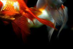 Kingyo (bonguri: 金魚#2 by NaokiOha(sansuu) on Flickr.)