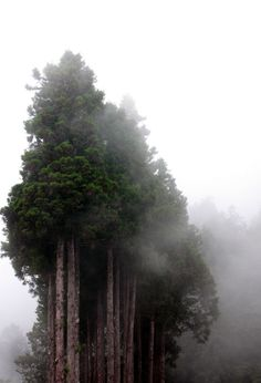 trees in the fog #photo #forest #nature #trees #fog