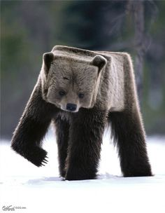 Cubism 30 Creative Photo manipulations #photo manipulation #bear #fur #cubism #cub #squared