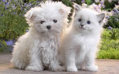 Cute White Puppy and Kitten
