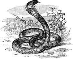 Cobra #cobra #snake