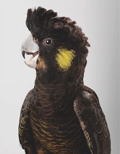 Melba Yellow Tailed Black Cockatoo thisispaper #photography #portrait #bird #cockatoo