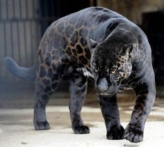10 Incredible Melanistic (All Black) Animals #jaguar #black