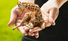 About : Sokoblovsky Farms - Russia's Finest Purveyors of Miniature Lap Giraffes #photography #photoshop #baby #giraffe