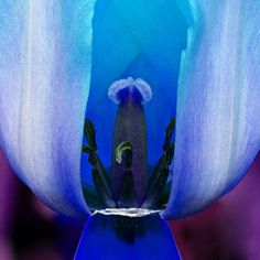 photo #flower #tulip