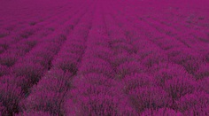 A vast field with rows of purple lavender stretching across the frame