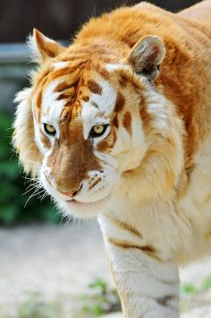 Golden Tiger. #meow #tiger #cat