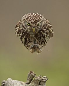 An Owl Flying Straight into a Camera #owl #humour #hover #float #bird #photography #levitate