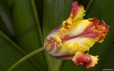 Tulip Flower #inspiration #photography #nature