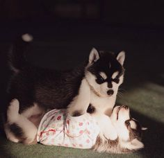 Adorable Huskies Photo with Human Clothes by Erica Tcogoeva #dogs #animals #photography #inspirations #huskies