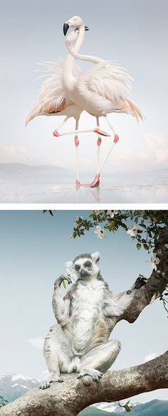 Until The Kingdom Comes: Animal Portraits by Simen Johan #flamingo #photographic #illustration #lemur #animals
