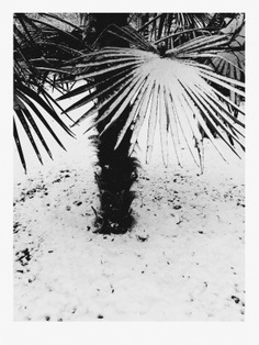 #flora #cologne #palmtree #plant #white #snow #photography