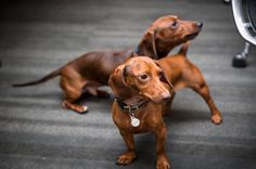 Office pets #office #dogs #photography #dachshund #pets