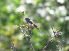 Virginia's Warbler, SLC