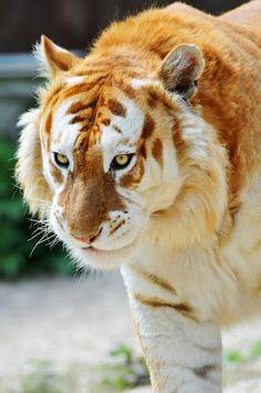 tiger #beast #stripes #orange #cat #fur #photography #tiger #animal #beauty