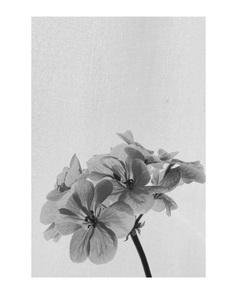 #pelargonium PHOTOGRAPHIE © [ catrin mackowski ]