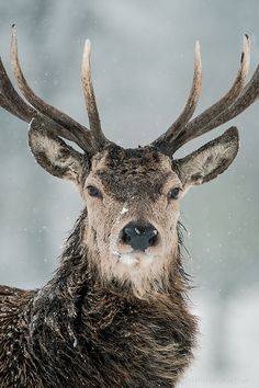 Red Deer Winter Portrait by Old Man George #handsome #beauty #deer #antlers #venison #snow #stag #photography #animal #winter