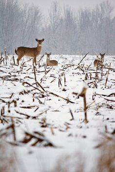 photo #deer #field #michigan #photography #nature